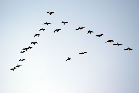 Ducks-flying-v-formation-migrating-photo1